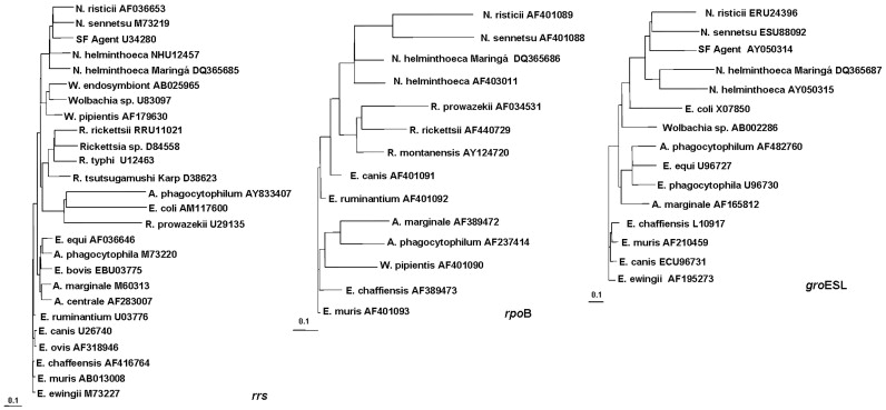 n. helminthoeca trichinella méret