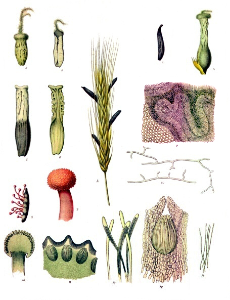 a gabona parazita egy gomba