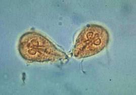 giardia reproduccion asexual