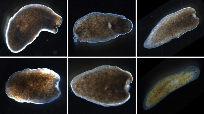 Platyhelminthes planaria cefalizáció - A laposférges paraziták képviselői