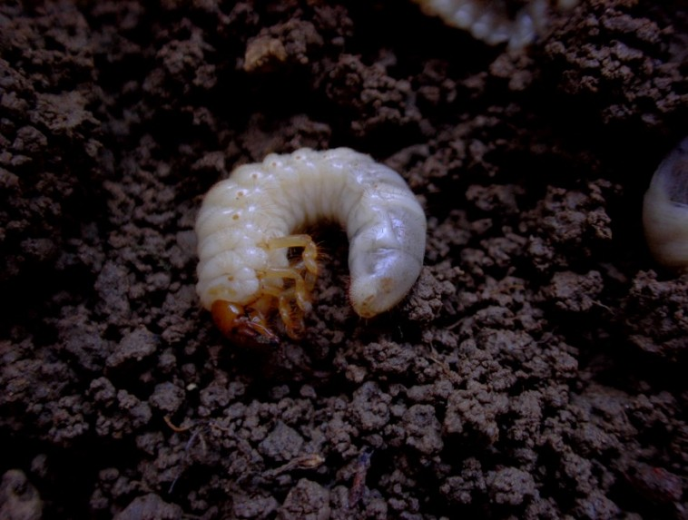Gazdasági veszélyt jelentő talajlakó kártevők