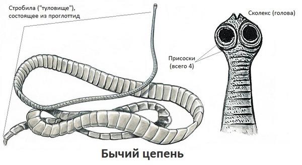 Bika szalagféreg jellemzői, Finn bika és sertéshús lánc: hogyan néz ki és mi veszélyes?