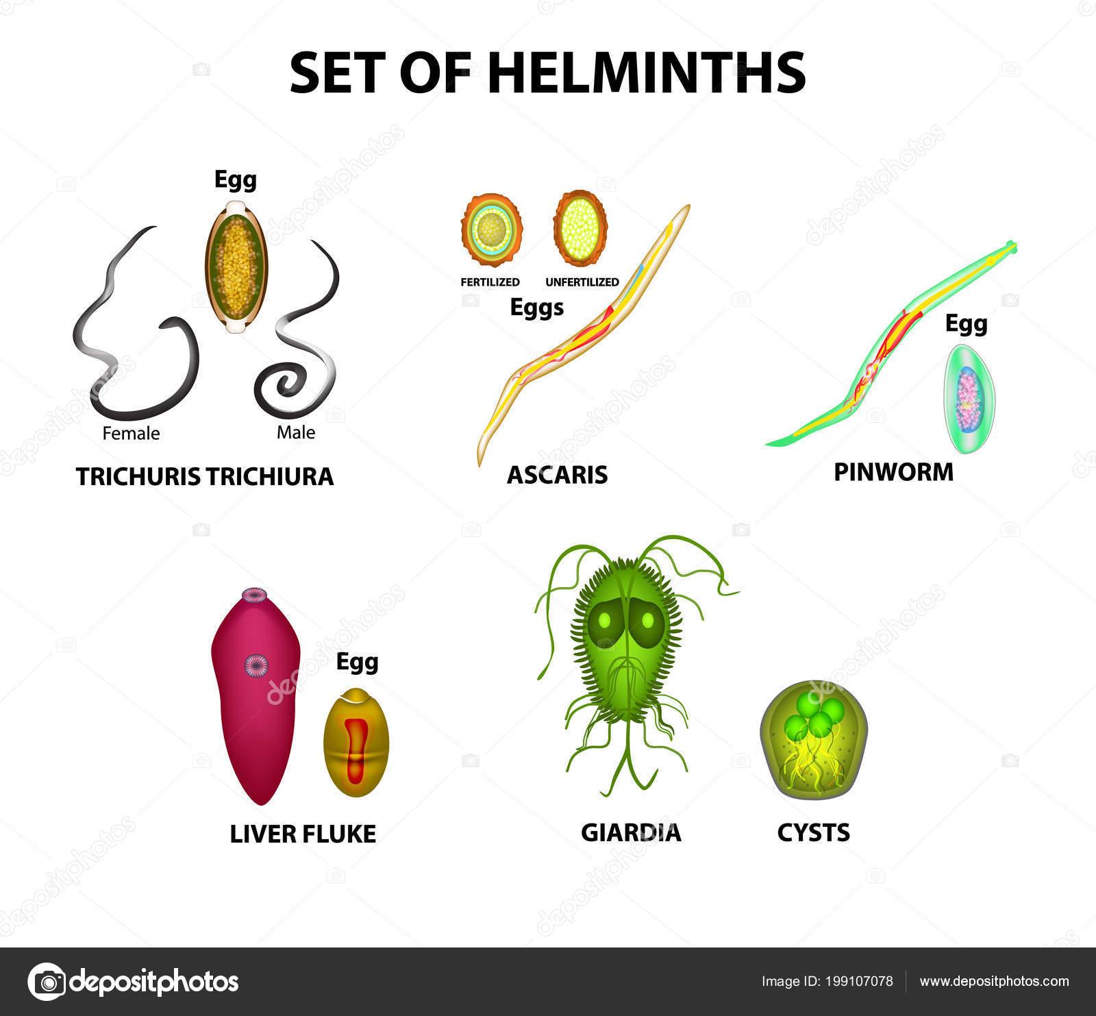 A helminták fajtái által