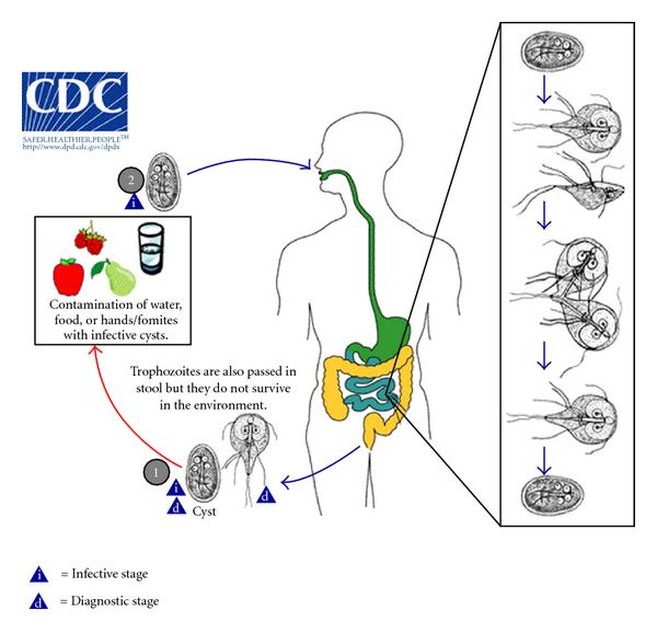 furazolidone giardiasis felnőtteknél
