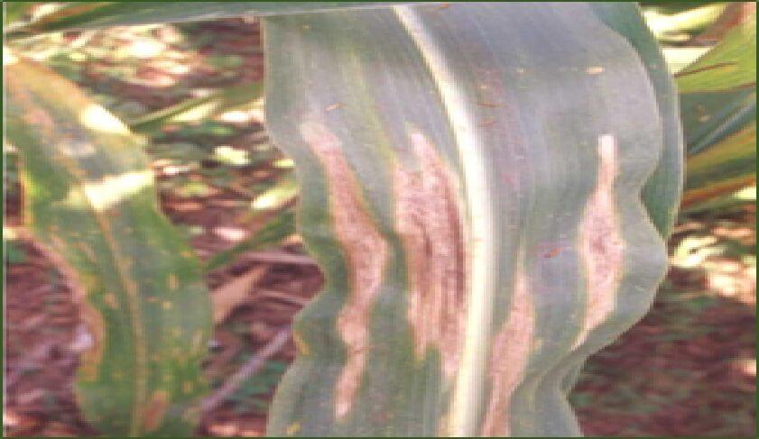 Helminthosporium oryzae padi, Post navigation