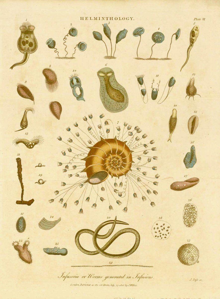 kerekféreg geohelminták