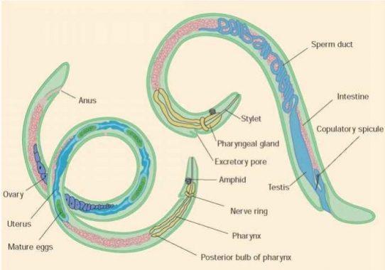 hogyan kezelik az enterobiasist gyermekeknél