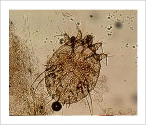 pulmonalis parazita kezelés
