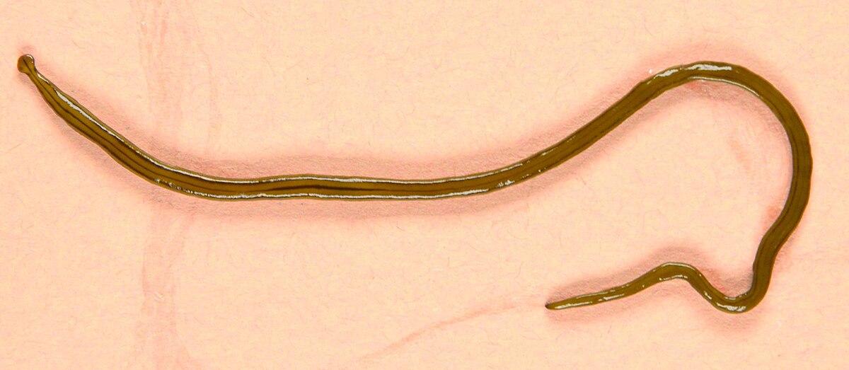 honnan származtak a pinworms ek