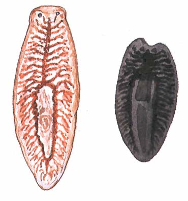 platyhelminthes reprodukció