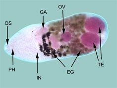 Rostellum paraziták III. OSZTÁLY: GALANDFÉRGEK (CESTODARIA RUD.)