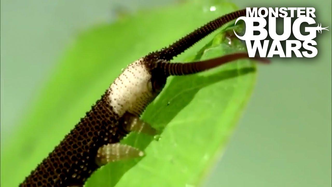 Típusú laposférgek bika szalagféreg