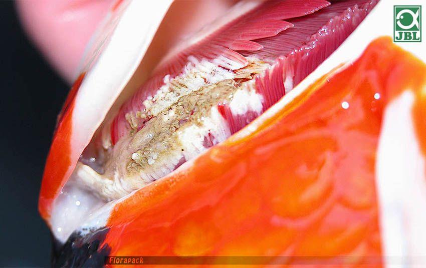 szarvasmarha szalagféreg szervek